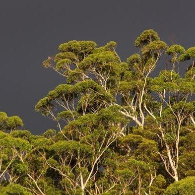 Australia-Eucalyptus-Trees.jpg