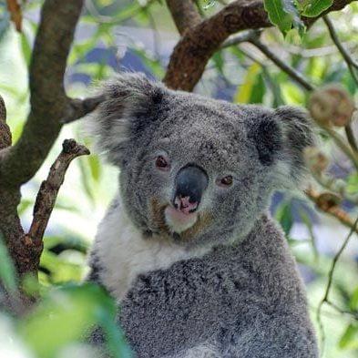 koala-bear-Australia-nature.jpg