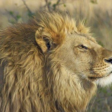 lion-safari-africa-travel.jpg